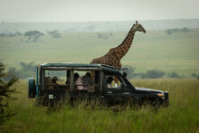 Masai Giraffe Stands By Truck In Grassland
