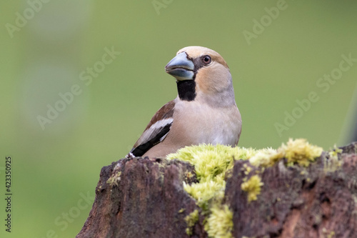 Fototapeta The hawfinch is a passerine bird in the finch family Fringillidae