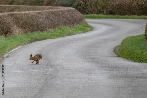 Fotomural hare on the road