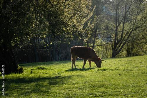 Photo Vache dans un pré