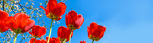 Red Tulips On Sky Background Banner Panoramic