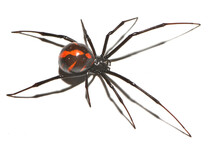 """Closeup Of The Medically Important Black-widow Spider Latrodectus Cf. Mactans """"mexicanus"""" (Araneae: Theridiidae) From Mexico, Photographed On White Background."""