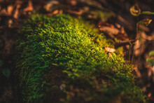 Close Up Of Green Moss Under Sun Light  In Forest With Yellow Leaves Blurred In Background