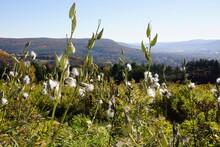 Common Milk Weed (Asclepias Syriaca)