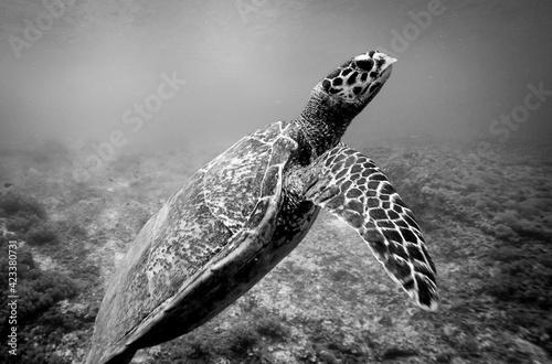 tortuga en blanco y negro Fotobehang