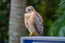Hawk Posing For Still Portrait