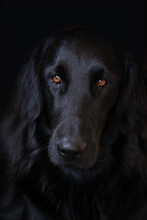 Head Of A Flat Coated Retriever Who Looks Into The Camera With His Faithful Look And Beautiful Brown Eyes. Vertical Image, Black Background