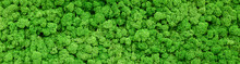 Moss Texture Background, Panoramic Banner With Green Reindeer Moss