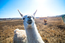 Cute Alpaca Posing On Camera Closeup.