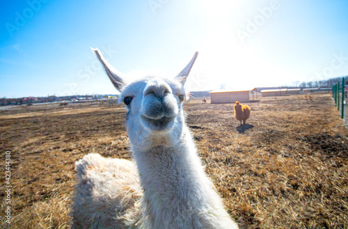 Fototapeta premium Cute alpaca posing on camera closeup.