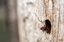 Soldier Beetle Or Firebug On Tree Trunk With Blurred Background