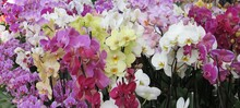 Colorful Orchids At Keukenhof, Holland