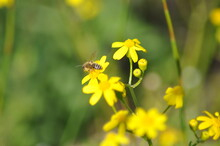 Yellow Flowers In Spring Bee Bug