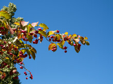 Spindle Tree With Distinctive Fruit