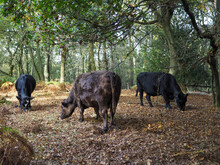 Cows Grazing For Acorns In The Ashdown Forest