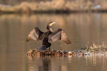 Great Cormorant Drying