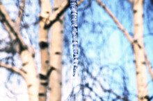 Springtime Scene.Hanging Melting Icicle On A Background Of White Birch Trunks And Blue Sky During Sunny Spring Morning.