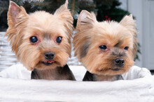 Two Yorkshire Terrier Dogs Sit In A Rattan Basket