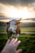 A Cow In The Sunset On The Green Grassland