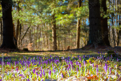 Obraz forest glade nature background in spring. crocus flowers on the glade in sunlight. trees in the blurred distance. sunny weather - fototapety do salonu