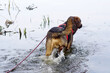 canvas print picture - Pies w wodzie