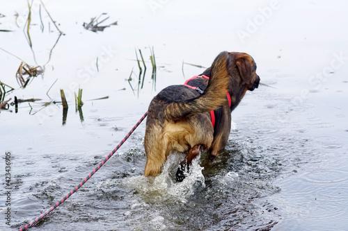 Valokuvatapetti Pies w wodzie