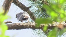 Mississippi Kite Bird Perched On A Pine Tree Branch