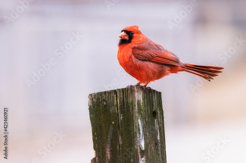 Northern Cardinal seen at Maryland's Chesapeake and Ohio Canal National Historical Park in 2021 Fototapet