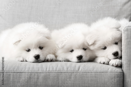 Obraz Cute Samoyed puppies on sofa at home - fototapety do salonu