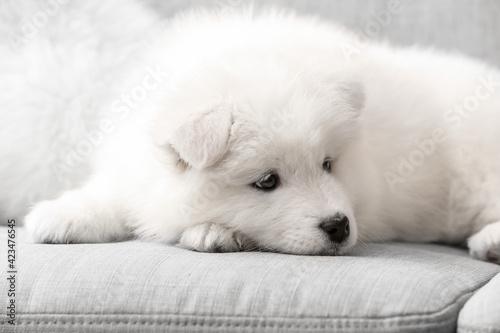 Carta da parati Cute Samoyed puppy on sofa at home