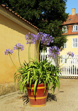 Agapanthus Is A Genus Of Herbaceous Perennials, Family Amaryllidaceae. Bloom In Summer. Flowers - Of Blue To Purple, To White. Commonly Known As Lily Of The Nile Or African Lily. In A Wooden Pot.