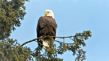 Bald Eagle Perched In Spruce Tree Against Blue Sky.