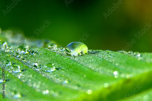 Fototapeta Left over water after rain in banana leaf obraz