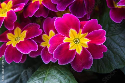Obraz na plátně Primevères roses et jaunes