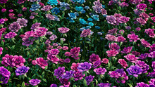 Multicolored Flower Background. Floral Wallpaper With Turquoise, Pink And Purple Roses. 3D Render