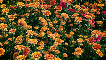 Multicolored Flower Background. Floral Wallpaper With Orange And Red Roses. 3D Render