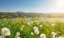 White Dandelion Blowballs And Yellow Flowering Meadow Buttercups At The Edge Of A Field In A Rural Countryside On A Sunny Day In Spring
