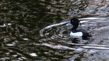 Tufted Duck (Aythya Fuligula), Victoria Park, Belfast, Northern Ireland, UK