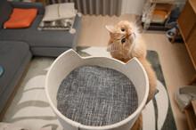 キャットタワーで遊ぶ猫(マンチカン)