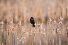 Red Winged Blackbird Perched On Cattails Near Forest And Lake