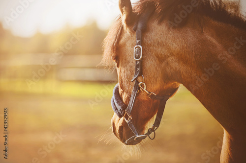 Fototapeta A portrait of a beautiful horse with a dark mane and a blue halter on its muzzle, standing in a field on a farm and looking into the distance on a clear sunny summer day