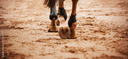 Fotografija A bay horse walks through the arena, stepping with shod hooves on the sand