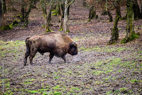 Vászonkép The European bison