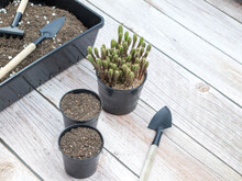 Gardening Equipment, Separating The Sapling, Transplanting Into A Black Pot With Soil.