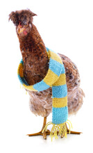 Red Chicken In A Striped Scarf.