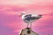 Seagull Standing On A Ship Part In Front Of Pink Sunset Sky