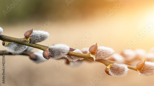 Fototapeta Pussy willow branch on blurred bokeh background. Sunny spring light. Empty spring easter background. Close-up.  obraz