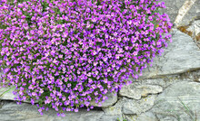 Closeup On Beautiful Bush Of Purple Bell Flowers  Blooming On A Wall