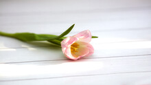 Pink Blossoming Fresh Tulip On A Minimalistic White Wooden Background Spotted With Rays Of Light. Banner, Greeting Card, Calendar, Copy Space.