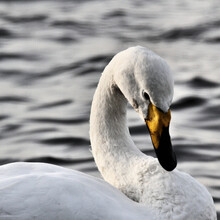 A Close Up Of A Whooper Swan On The Water